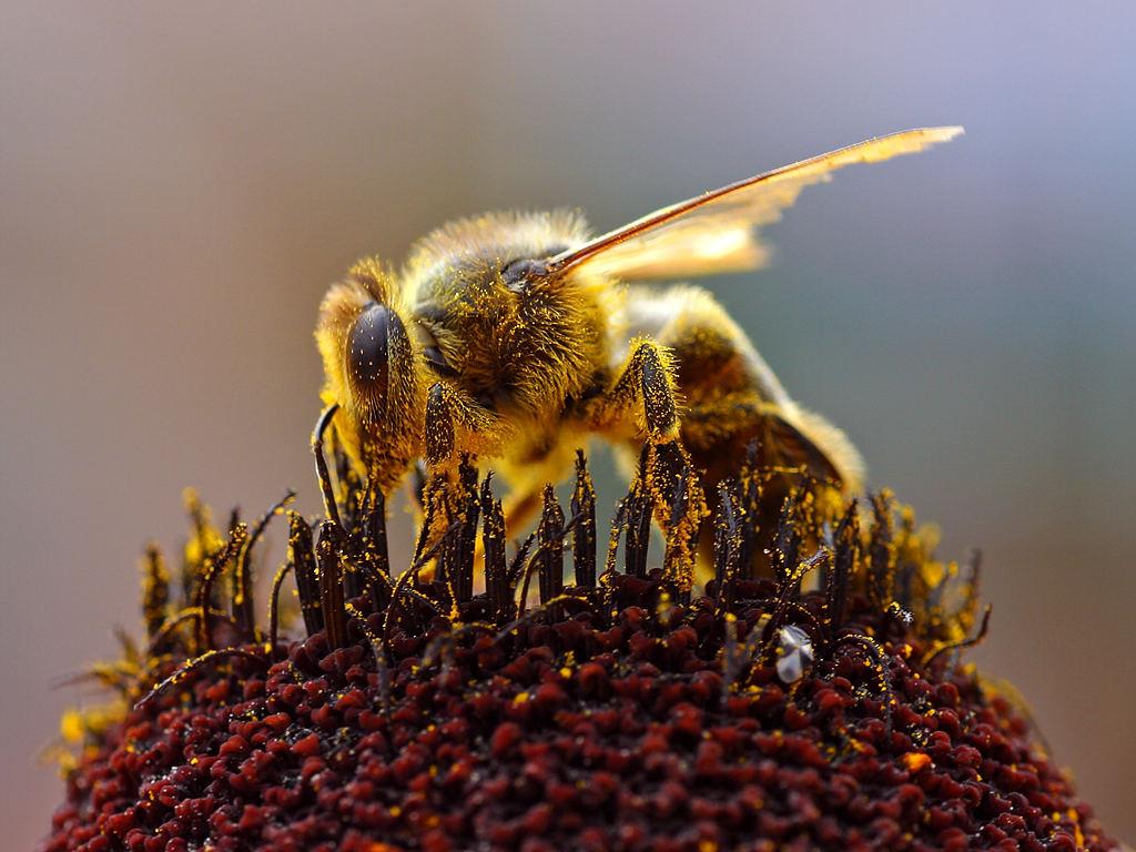 Comment attirer les abeilles?